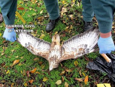 Detenido por matar con veneno a dos ejemplares de águila y dos gatos
