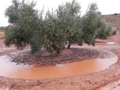 Las borrascas dejan importantes pérdidas en olivares de la región