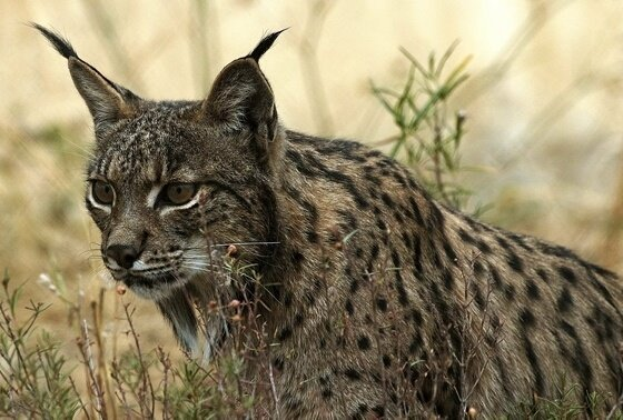 Lince - UCLM/EP - Archivo