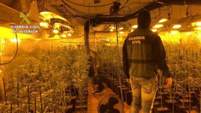 Plantación de marihuana decomisada en Torrijos. - GUARDIA CIVIL