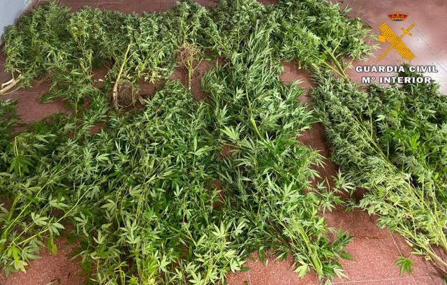 CLM | Detenido por cultivar marihuana en una parcela junto a su casa