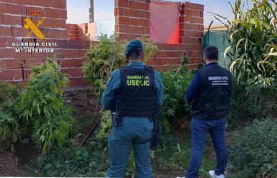MARIHUANA   Detenido un hombre de 63 años con 21 plantas en su jardín