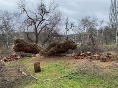 TOLEDO | Siguen buscando a los responsables de la tala del taray centenario de Safont