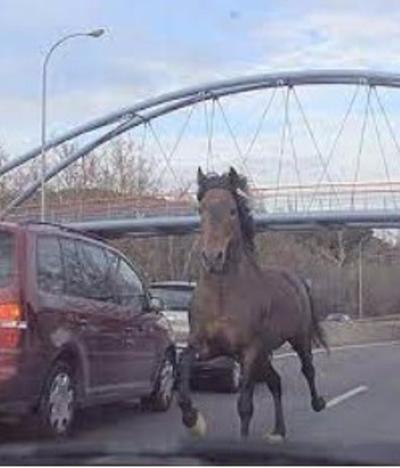 La Policía de Consuegra evita que un caballo suelto cause incidentes