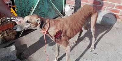 Dos detenidos por sustraer perros galgos tras practicarles incisiones para extraerles los microchips en Toledo