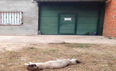 'Amibichos' denuncia la muerte violenta de un gato en Talavera