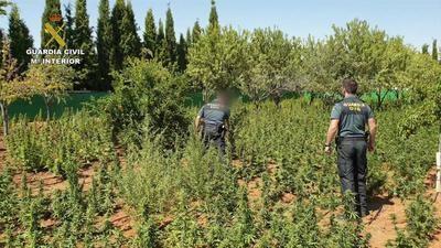 Desarticulado un grupo criminal dedicado al cultivo de marihuana