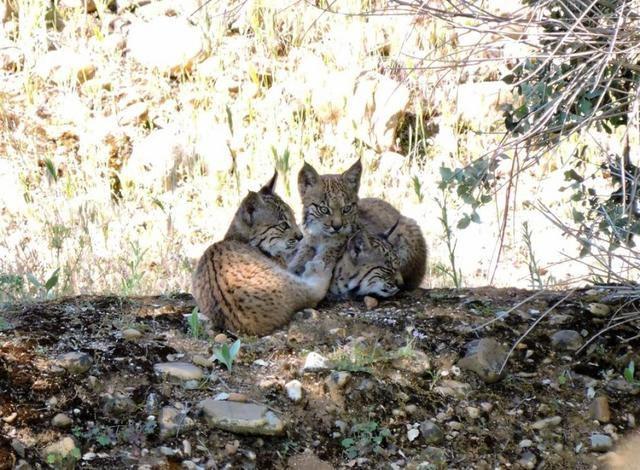 Castilla-La Mancha cuenta, al menos, con 16 nuevas crías de lince ibérico nacidas en libertad