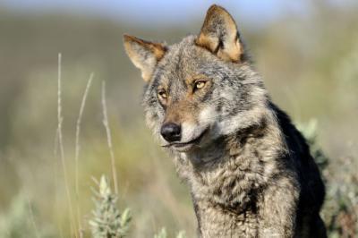 Ayudas para paliar daños relacionados con ataques de lobo ibérico al ganado