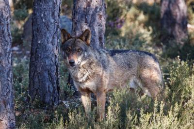CLM convoca ayudas contra daños por ataques de lobo
