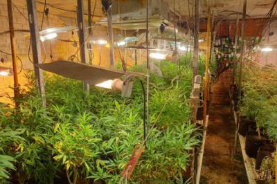 Dos detenidos y más de 1.000 plantas de marihuana incautadas