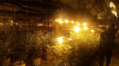 VÍDEO | Desmantelan una plantación con 500 plantas de marihuana en una nave de Alberche