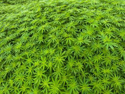 Un detenido en Alcaudete de la Jara por cultivar 683 plantas de marihuana en el interior de una vivienda