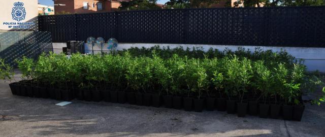 Detienen a cinco personas que cultivaban 2.000 plantas de marihuana en chabolas
