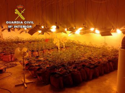 MARIHUANA | Cuatro detenidos y 782 plantas incautadas