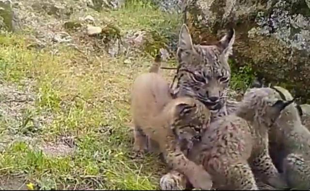 Ecologistas se personará como acusación contra el cazador que mató a una lince y provocó la muerte de sus 4 cachorros