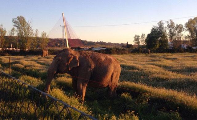 Los elefantes del Circo Gottani ofrecen un