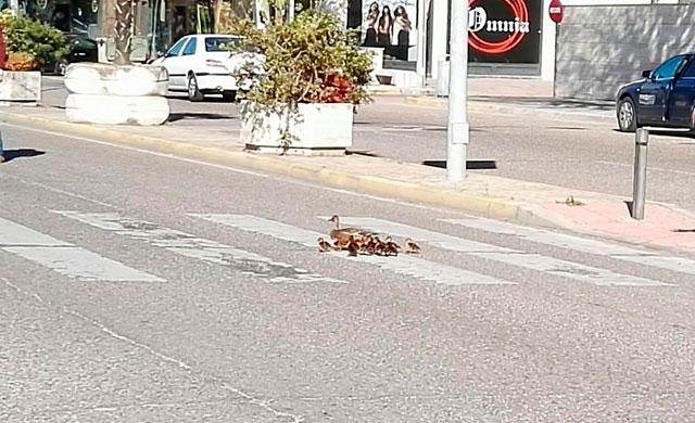Una familia de patos corta momentáneamente la avenida de la Constitución