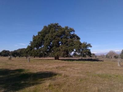 El alcornoque centenario del Dehesón del Encinar, de Oropesa, nuevo árbol singular en la región