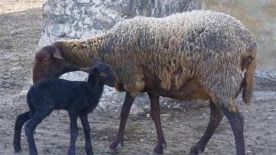 Un hombre mata a golpes a un carnero para subirlo a redes sociales