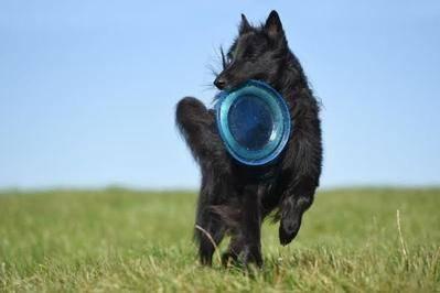 Perro practicando el frisbee