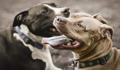 NUEVA LEY | Adiós a la lista de razas de perro potencialmente peligrosas