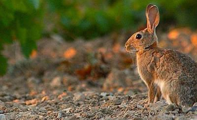 Agricultura declarará la emergencia cinegética en CLM por plaga de conejos