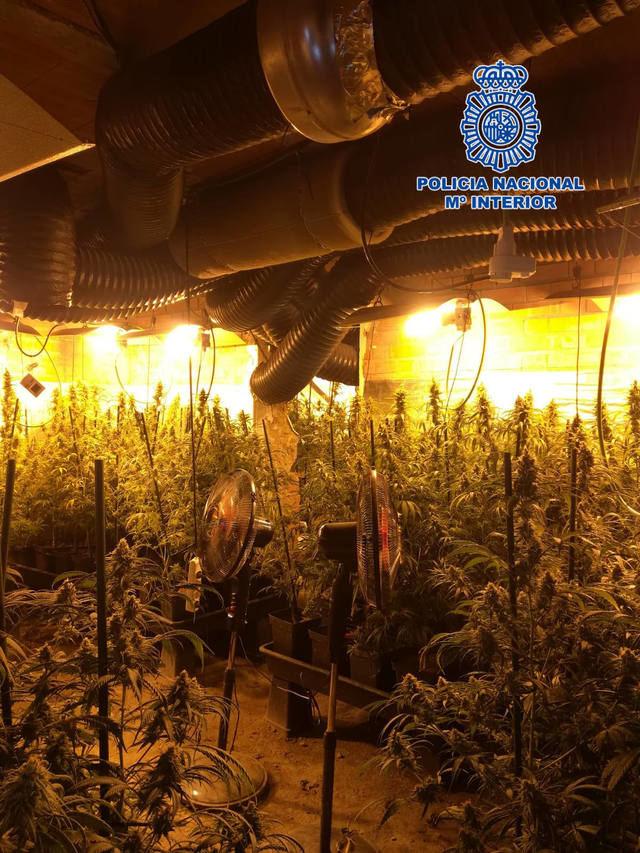 Detenida a una mujer por cultivo ilegal de marihuana en Escalona