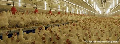 Foto: avicultura.info