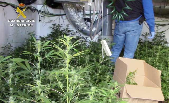 Detiene a tres personas e incautan 1.235 plantas de marihuana