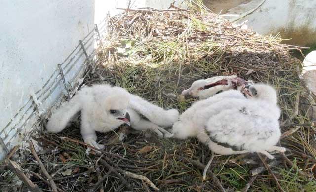Nacen dos pollos de águila perdicera en cautividad en Sevilleja de la Jara