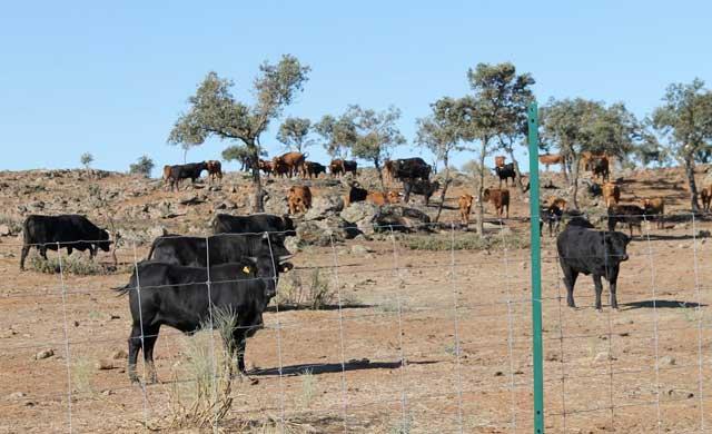 La Diputación vende la ganadería de reses bravas que compró el PP