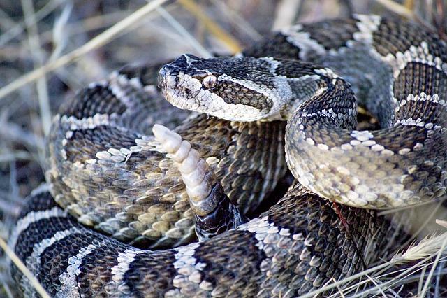 PUEBLA DE MONTALBÁN | Hallada la serpiente de cascabel que mordió a un hombre