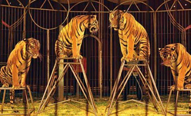 El TSJCM anula la ordenanza del Ayuntamiento de Talavera que prohíbe los circos con animales
