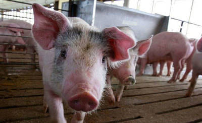 Quieren evitar la instalación de dos granjas porcinas en Gamonal (VÍDEO)