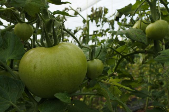 Tomates | JCCM