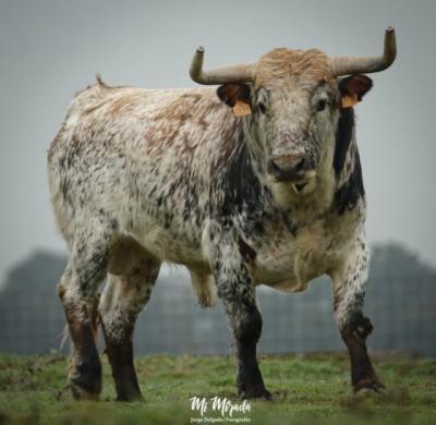SOLIDARIDAD   Éxito de la campaña 'Adopta un toro' de Peñajara