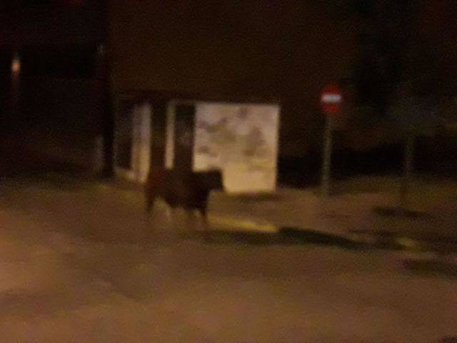 Un toro