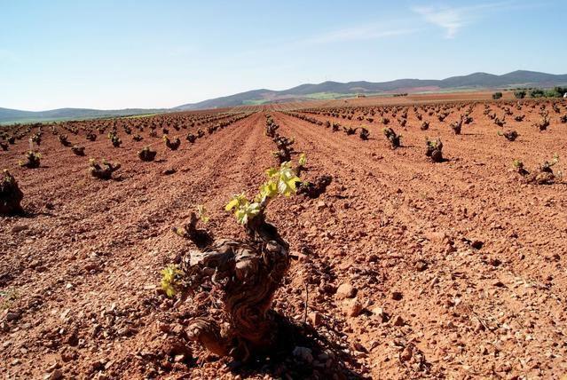 Todos los nuevos jóvenes viticultores recibirán el 100 por cien de la superficie de viñedo