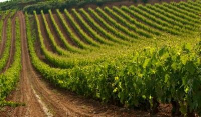 CLM propone al viñedo europeo como Bien Inmaterial de la Humanidad