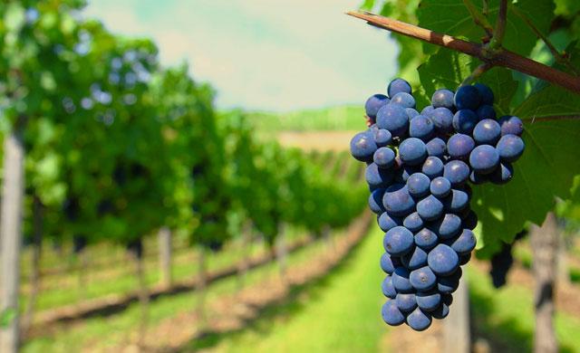 CLM recibirá 33,4 millones de euros para reestructuración de viñedo