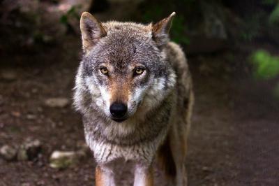 Siete autonomías están en contra de la orden que prohíbe cazar lobos